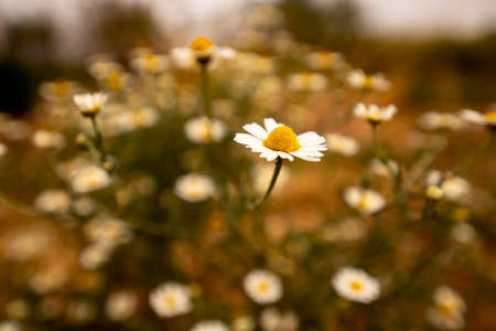 Wild daisy flower close-up on blurred background