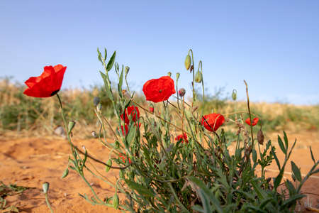 Bush of red poppies against the background of an agricultural field and blue sky. Landscape