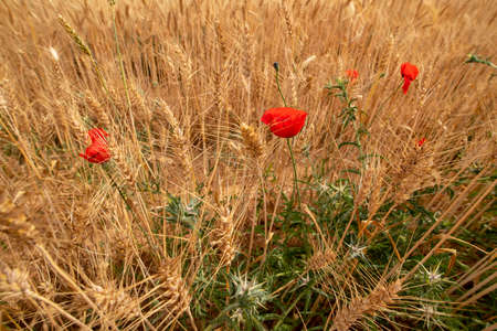 Wild flowers between the golden spikes of ripe wheat. Landscape 写真素材