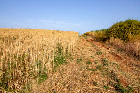 Rural road passing between green bushes and a field of ripe wheat. Landscape