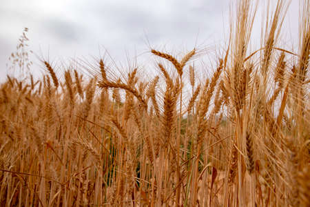 Golden ears of ripe wheat close up against a cloudy sky. Landscape
