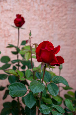 Red rose bud close-up on a blurred gray background. Issyk-Kul. Kyrgyzstan
