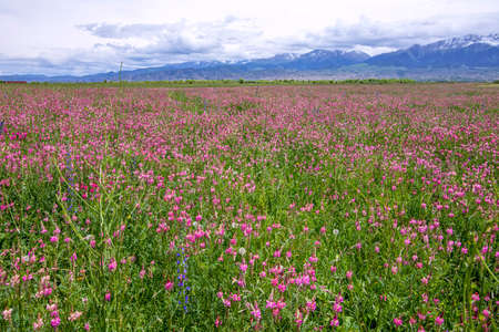 Beautiful pink Sainfoin flowers. Herbal-bean mixtures for grazing with mountains covered in snow on the horizon