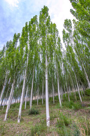 Grove of young poplar trees against a cloudy sky. Traveling in Kyrgyzstan Stock Photo