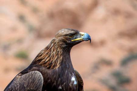 Portrait of Golden eagle Berkut close up. Traveling in Kyrgyzstan Stok Fotoğraf