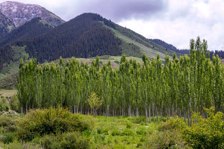 Grove of young poplars against hills covered with forests and cloudy sky. Traveling in Kyrgyzstan 版權商用圖片