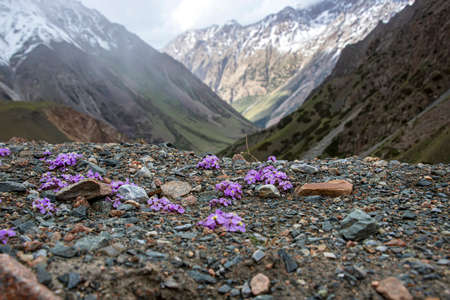 Mountain view with snow-capped peaks through purple flowers on a rocky surface.Kyrgyzstan