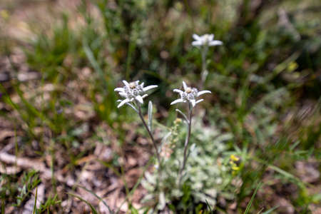 White flowers of mountain edelweiss closeup on a blurred background