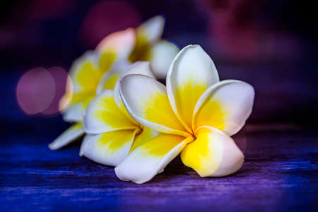 Plumeria - Frangipani flowers close up on a dark blurry background with bokeh effect Stock Photo