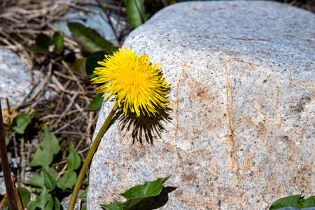 Yellow dandelion flower on a stone background close-up