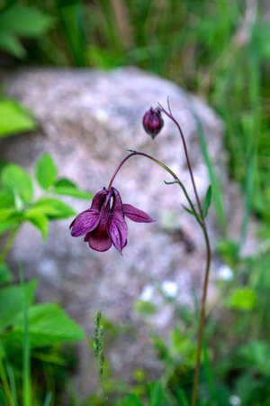 Purple Common Columbine flower close-up on a blurred green background
