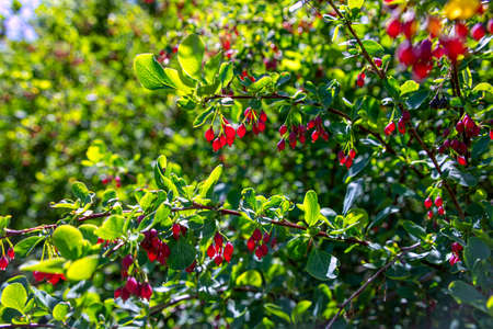 Ripe red berries of barberry in sunny backlight on a green blurred background