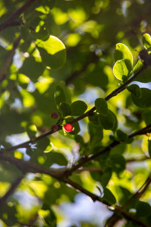 Ripe red berries of barberry in sunny backlight close up on a green blurred background Stock Photo - 131734482