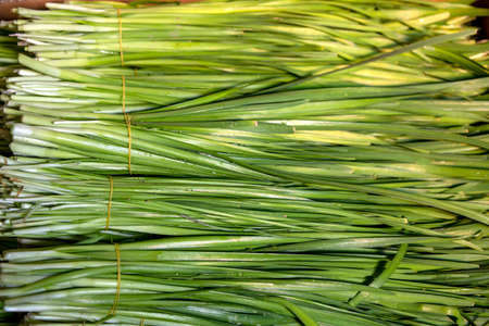 Bunches of freshly cut jusai with drops of water on leaves close-up