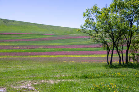 Trees on the edge of a colorful agricultural field against a green hill and blue sky. Issyk-Kul valley. Kyrgyzstan