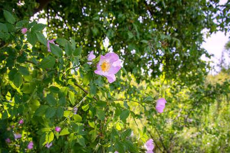 Flowering bush of pink rose hips close-up