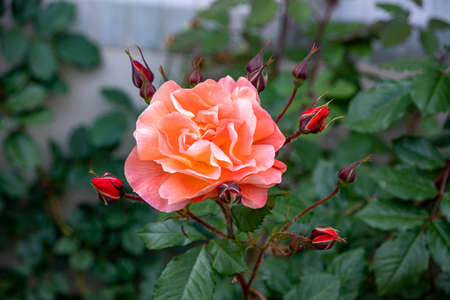 Orange-pink rose flower surrounded by buds closeup Stok Fotoğraf