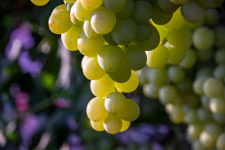 Bunches of ripe grapes close-up on a blurred background. Israel