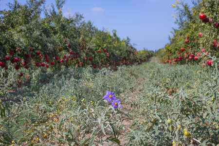 Silverleaf nightshade flowers and fruits between Rows of pomegranate trees with ripe fruits on the branches. Stock Photo