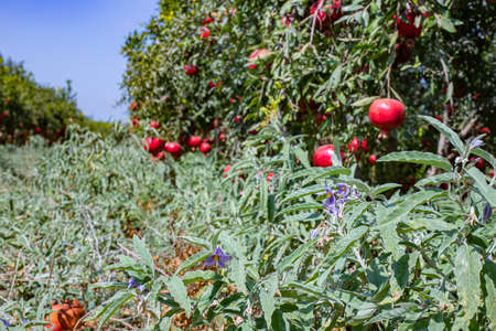 Ripe pomegranate fruits on the branches of trees in the garden field and Silverleaf nightshade on the ground. Stock Photo