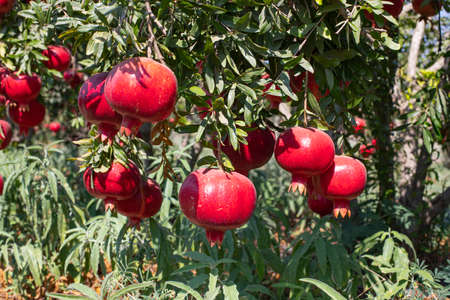 Ripe pomegranate fruits on the branches of trees in the garden. Stock Photo