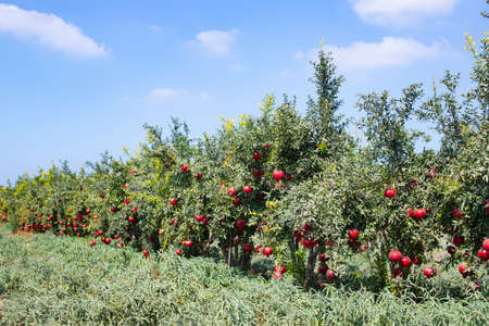 Rows of pomegranate trees with ripe fruits on the branches in a field