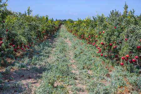 Rows of pomegranate trees with ripe fruits on the branches in a field. 写真素材