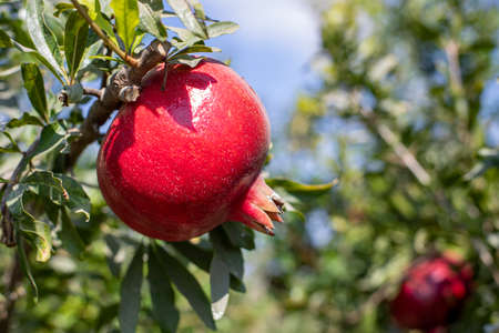 Ripe pomegranate fruits on the branches of trees in the garden