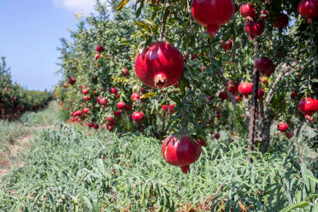 Rows of pomegranate trees with ripe fruits on the branches in a field. Stock Photo