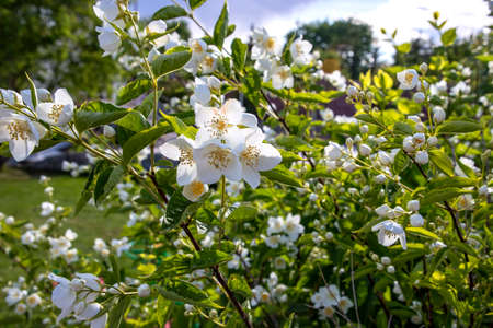 Jasmine shrub with white flowers in the sunlight close-up