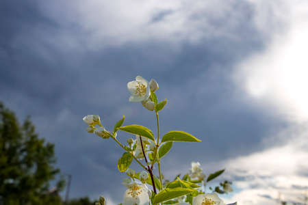 Jasmine shrub flowers in the sunlight on a background of blue sky with clouds close-up