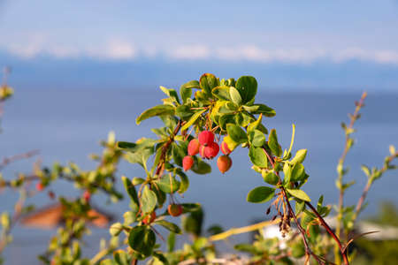Unripe fruits of a bush of barberry on a blurred background. Kyrgyzstan