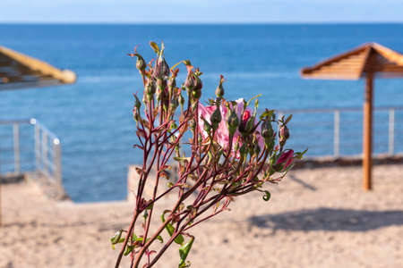Buds and pink rose flower on background of parasols on the beach of Lake Issyk-Kul. Kyrgyzstan