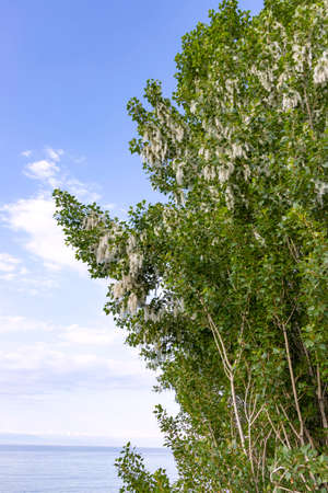 Poplar tree with seeds in fluff on the background of Lake Issyk-Kul. Kyrgyzstan Stock Photo