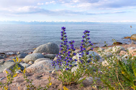 Issyk-Kul lake with Echium vulgare flowers on a rocky beach and mountains with snow-capped peaks on the horizon. Kyrgyzstan
