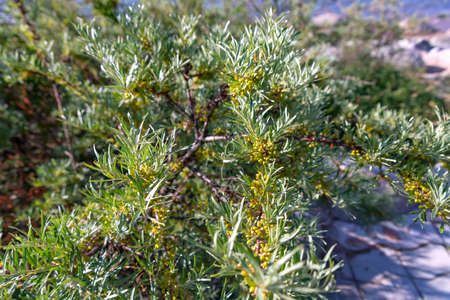 Sea-buckthorn bush with branches strewn with unripe fruits on Issyk-Kul Lake. Kyrgyzstan Stock Photo