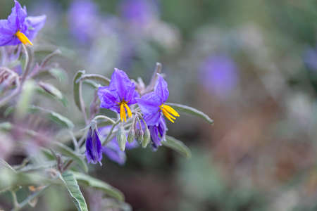 Silverleaf nightshade plant with flowers close up