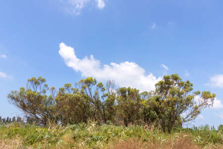 Young eucalyptus trees and grass in front of it against a blue sky with clouds