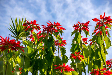 Red and green leaves of poinsettia tree in backlit on a background of blue sky with clouds