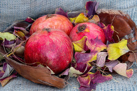 Still life. Close-up of pomegranate fruits in autumn colored foliage