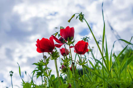 Red natural anemones coronaria flowers in bloom in green grass against blue sky with clouds