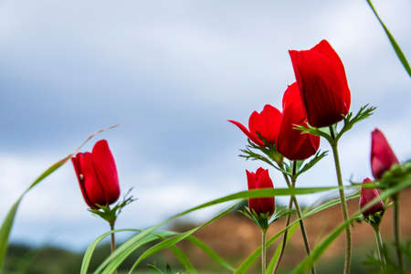 Red anemones coronaria flowers in bloom in the wind on a blurry sky background