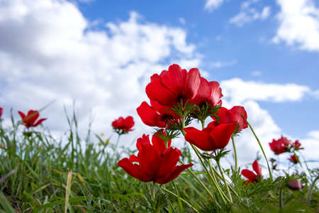 Red anemones coronaria flowers in bloom in green grass against blue sky with clouds 版權商用圖片