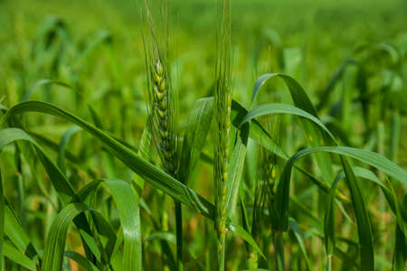 Green ears and leaves of young wheat close-up on a blurred background