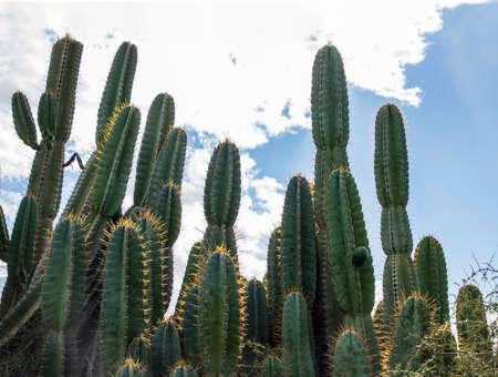 Group of Cereus jamacaru cactuses in sunlight against cloudy sky