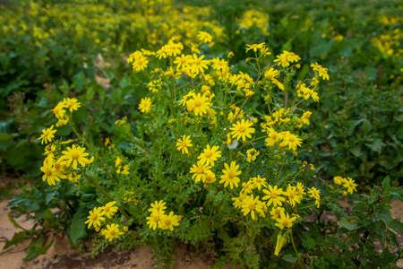 Yellow Senecio vernalis flowers in bloom close up on a blurred background 版權商用圖片