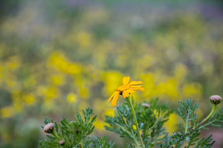 Head of Golden marguerite flower in bloom close up on a blurred background