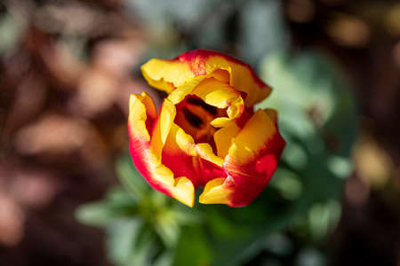 Top view of red-yellow tulip flower close-up on a blurred background