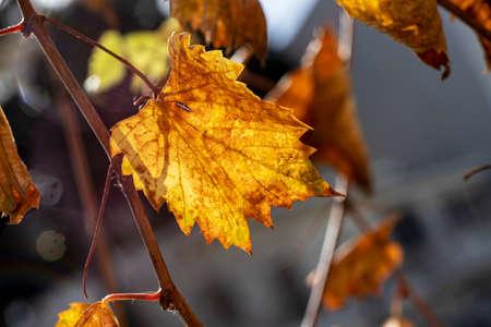 Colorful golden autumn grape leaf close-up on blurry background 版權商用圖片