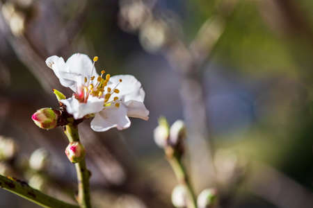 Almond tree branch with buds and a blossoming flower close-up on a blurred background